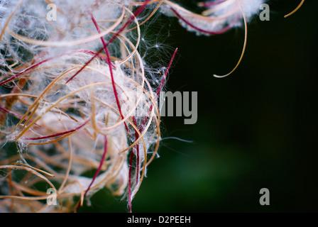 Rosebay, Willowherb, Fireweed - Epilobium / Chamaenerion angustifolium. Bursting Seed Capsules Closeup. - Stock Photo