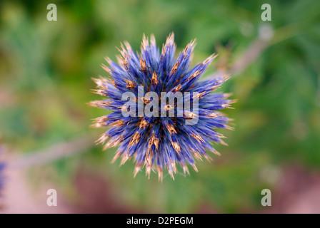Perfect Blue Globe Thistle - Echinops ritro - Stock Photo