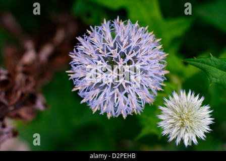 Flowering and Young Blue Globe Thistles - Echinops ritro - Stock Photo