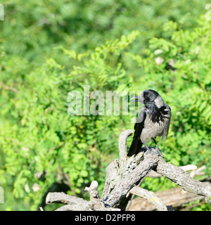 A Hooded Crow (Corvus cornix - sometimes called Hoodiecrow) standing on branch in summer. - Stock Photo