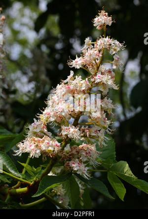 Horse Chestnut Tree Flowers, Aesculus hippocastanum, Hippocastanaceae. - Stock Photo