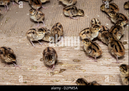Day old pheasant chicks in rearing shed on a shooting estate. - Stock Photo