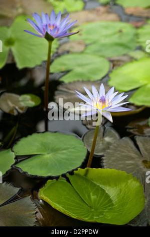 beautiful purple water lilies - Stock Photo
