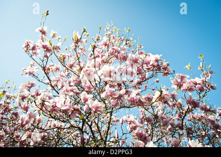 blooming magnolia tree with clear blue sky in background - Stock Photo