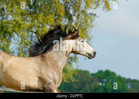 Partial shot of buckskin Lusitano stallion with wind blown mane. Horse is moving. - Stock Photo