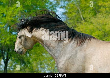 Buckskin Lusitano stallion with thick black mane shakes his head. - Stock Photo