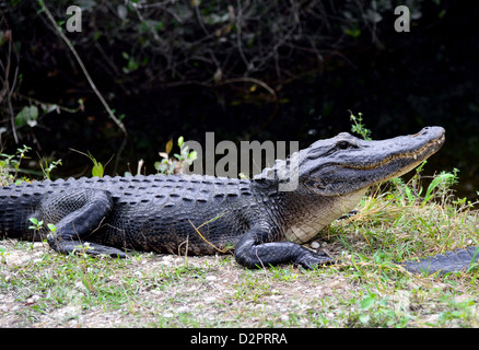 An alligator at the Big Cypress National Preserve, Florida, USA. - Stock Photo