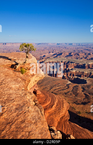 Grand View Point overlook and juniper tree, Island in the Sky, Canyonlands National Park, Utah, USA - Stock Photo
