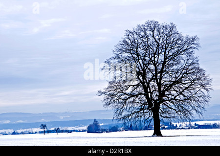 old oak in wintertime - Stock Photo