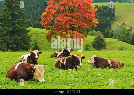 Bulls on pasture and maple tree, Black Forest, Schwarzwald-Baar, Baden-Wurttemberg, Germany, Europe - Stock Photo