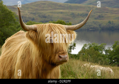Highland cattle above Loch Katrine, Loch Lomond and Trossachs National Park, Stirling, Scotland, United Kingdom, - Stock Photo