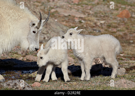 Mountain goat (Oreamnos americanus) nanny and kids, Mount Evans, Arapaho-Roosevelt National Forest, Colorado, USA - Stock Photo