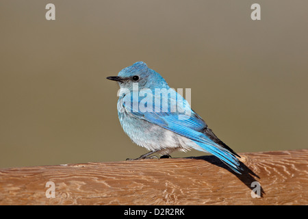Male mountain bluebird (Sialia currucoides), Mount Evans, Arapaho-Roosevelt National Forest, Colorado, USA - Stock Photo