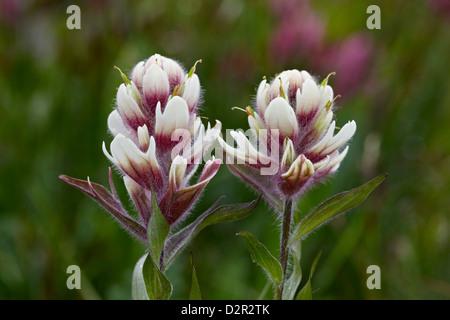 Rosy paintbrush hybrid with sulphur paintbrush (Castilleja sulphurea), San Juan National Forest, Colorado, USA - Stock Photo