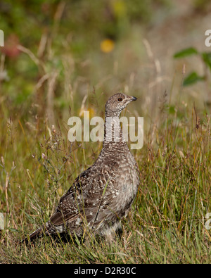 Dusky grouse (blue grouse) (Dendragapus obscurus) hen, United States of America, North AmericaUSA - Stock Photo