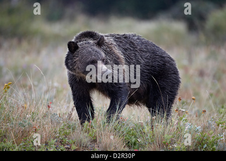 Grizzly bear (Ursus arctos horribilis) in the rain, Glacier National Park, Montana, United States of America, North - Stock Photo