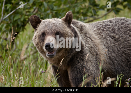 Grizzly bear (Ursus arctos horribilis), Glacier National Park, Montana, United States of America, North America - Stock Photo