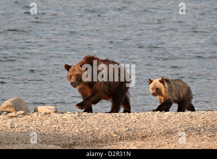 Grizzly bear (Ursus arctos horribilis) sow and yearling cub, Glacier National Park, Montana, USA - Stock Photo