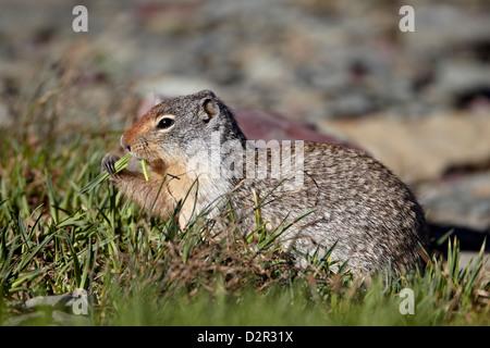 Columbian ground squirrel (Citellus columbianus) feeding, Glacier National Park, Montana, USA - Stock Photo