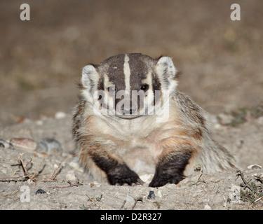 Badger (Taxidea taxus), Buffalo Gap National Grassland, Conata Basin, South Dakota, United States of America, North - Stock Photo