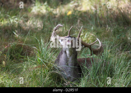 Damhirsch liegend im Gras - Stock Photo