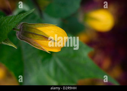 Flowering maple - Abutilon (South America). - Stock Photo
