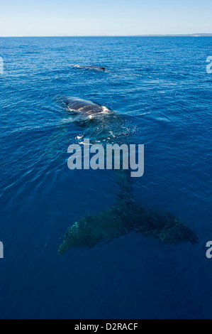 Humpback whale (Megaptera novaeangliae) in Harvey Bay, Queensland, Australia, Pacific - Stock Photo