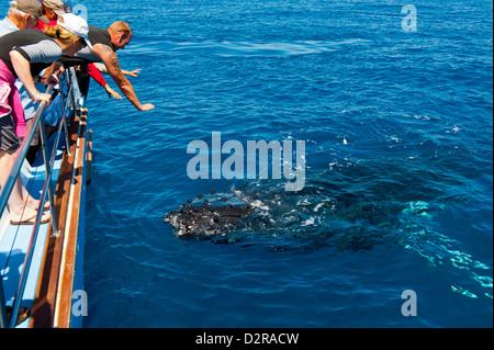 Humpback whale (Megaptera novaeangliae) watching in Harvey Bay, Queensland, Australia, Pacific - Stock Photo