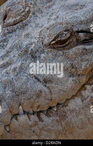 Saltwater crocodile (Crocodylus porosus), Queensland, Australia, Pacific - Stock Photo