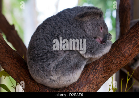 Koala (Phascolarctos cinereus) in the Townsville sanctuary, Queensland, Australia, Pacific - Stock Photo