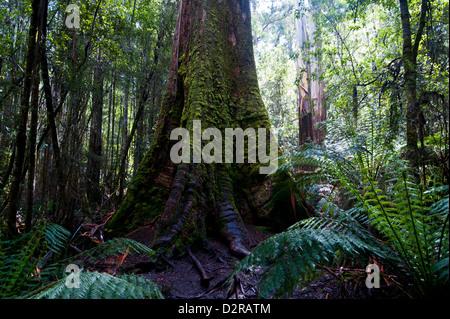 Pandani Grove Nature Trail, Mount Field National Park, Tasmania, Australia, Pacific - Stock Photo