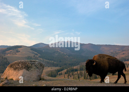 Bison and Mount Washburn in early morning light, Yellowstone National Park, Wyoming, USA - Stock Photo