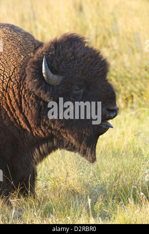 Bison in the Lamar Valley, Yellowstone National Park, Wyoming, USA - Stock Photo
