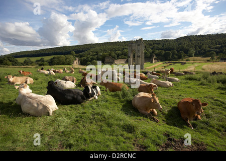 Cattle graze in a meadow next to the ruins of Kirkham Priory an Augustinian Abbey near Malton, North Yorkshire, - Stock Photo