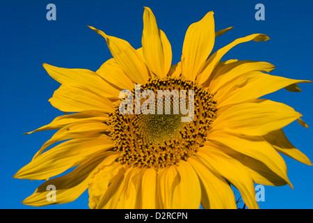 Helianthus annuus, Sunflower, Yellow. - Stock Photo