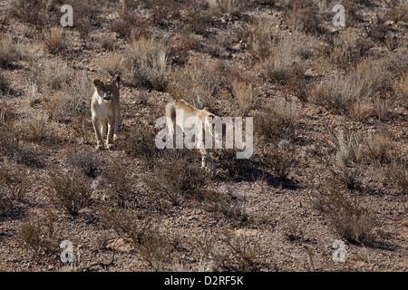 Two Kalahari lionesses on dune, lion, Panthera leo, Kalahari South Africa Botsuana - Stock Photo