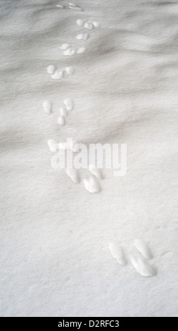 Rabbit footprints in fresh snow - Stock Photo