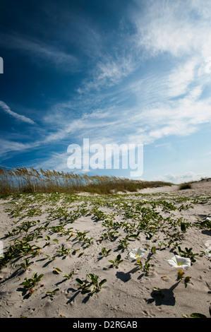 Ipomoea imperati, Beach morning-glory, White. - Stock Photo