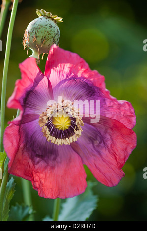 Papaver somniferum, Poppy, Opium poppy, Pink flower and green seed pod. - Stock Photo