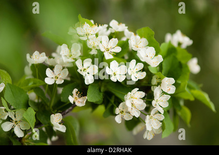 Prunus cerasus 'Surefire', Cherry, Sour cherry, White flower blossom on a tree. - Stock Photo