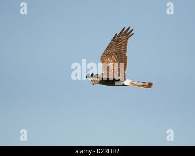 Hen Harrier in flight - Stock Photo
