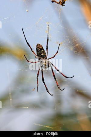 Madagascan Golden Orb Spider, Nephila madagascariensis, Nephilidae, Araneae, Arachnida. Antananarivo, Madagascar, - Stock Photo