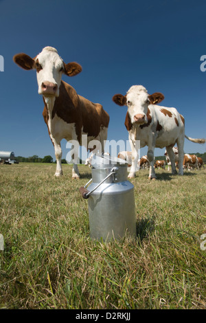 MILK CHURN IN ALPINE PASTURE WITH CATTLE CANTAL AUVERGNE FRANCE - Stock Photo