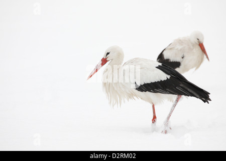 White Storks (Ciconia Ciconia) in the snow, The Hague, Netherlands - Stock Photo