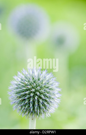 Echinops bannaticus 'Taplow Blue', Globe thistle, Blue subject. - Stock Photo