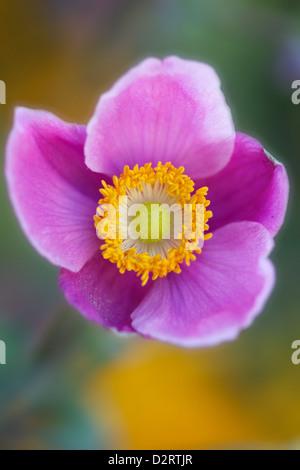 Anemone hupehensis var. japonica cultivar, Anemone, Japanese anemone, Pink subject. - Stock Photo