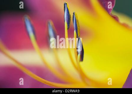 Hemerocallis cultivar, Lily, Daylily, Yellow subject. - Stock Photo