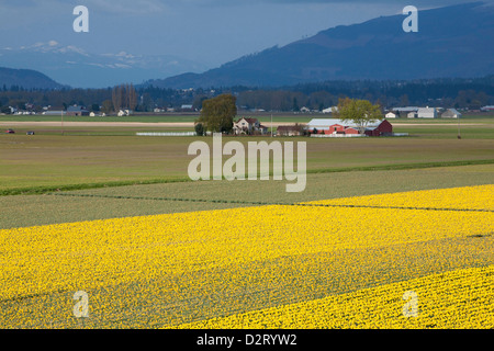 North America, United States, Washington, Mount Vernon, daffodil fields in bloom at annual Skagit Valley Tulip Festival - Stock Photo
