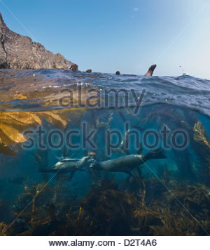 Underwater photo of kelp and sea lions, Anacapa, Channel Islands National Park, California, USA - Stock Photo