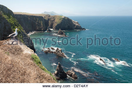 Gull looking over the ocean, Anacapa, Channel Islands National Park, California, United States of America, North - Stock Photo